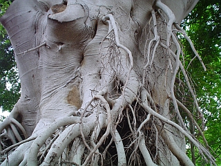 Rose Bay roots